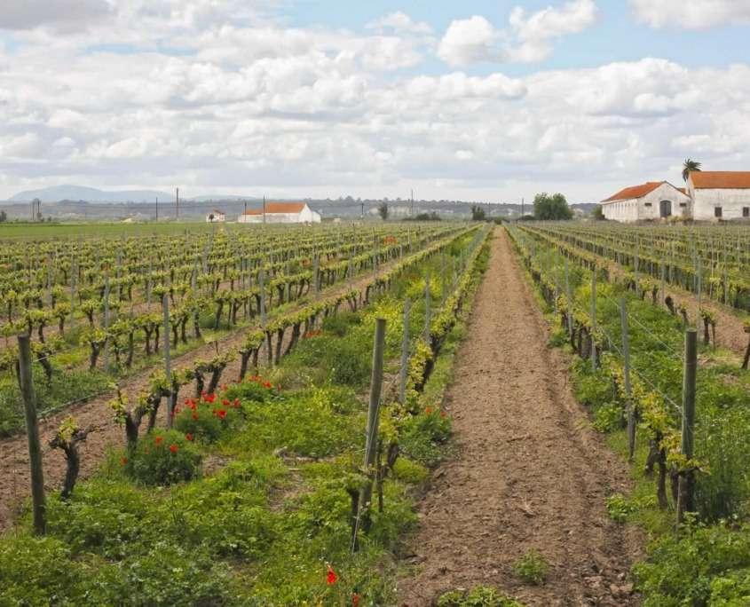 Les caves de Cartaxo à visiter pour leur vin rouge corsé populairement connu comme « carrascão » et le musée qui s'y rapporte.